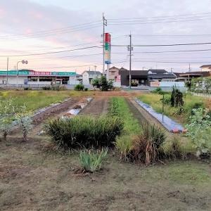 ジャガイモの土中保存