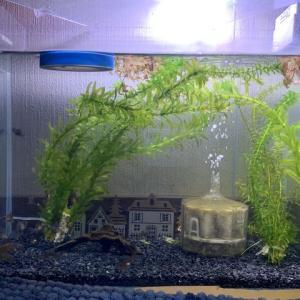 赤ちゃん金魚、孵化から6ヶ月。