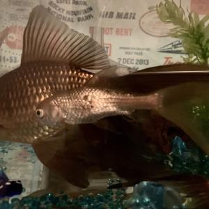 鉄魚の病状16