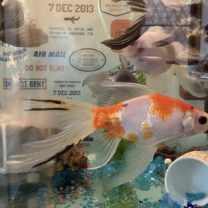 『金魚日本一大会』の受賞金魚をdisってみる。(ただの親バカ)