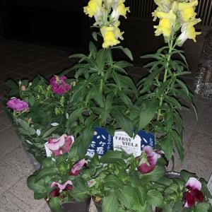 玄関横の花壇用の花の追加を買って来ました。