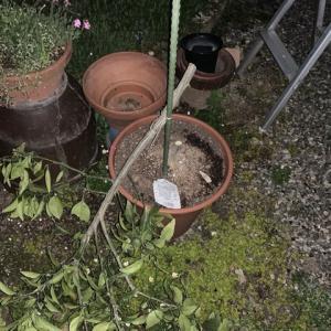 ミカンの木も、切断してやった。