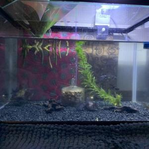 赤ちゃん金魚、孵化から14ヶ月経ってました。
