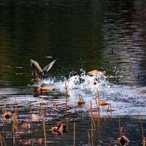 冬の散歩道  #ため池 #枯蓮(かれはす) #鴨