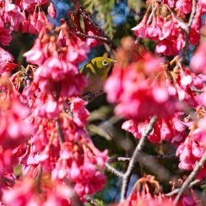 寒緋桜(カンヒザクラ)とメジロ