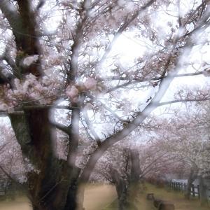 満開間近の「亀鶴公園の桜」 2020/3/30