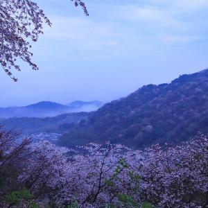 近所の山桜  - 雨の日に -