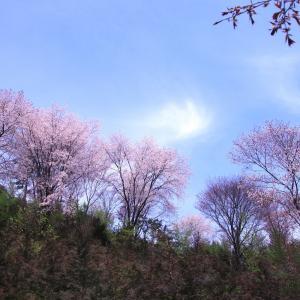 近所の山桜  - 晴れた日に -