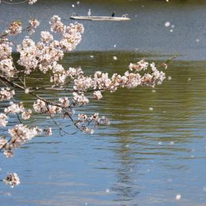亀鶴公園2020(1) 〜桜の散る頃に「花鎮めのまつり」〜