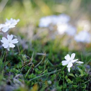 おうちで楽しもう(2)   #青空文庫 #種田山頭火 #白い花