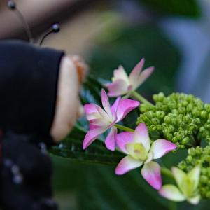紫陽花が咲き始めました♪ 「おも写」にも挑戦