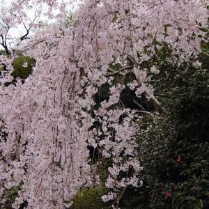 多和の桜  〜老いた桜の木と枝垂れ桜〜
