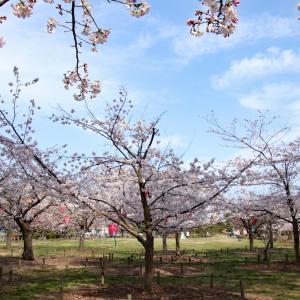 桜  〜高松市「玉藻公園」〜