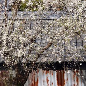 名残の桜2021(2) 〜西方寺〜