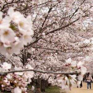 名残の桜2021(3) 〜亀鶴公園〜