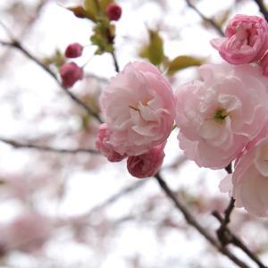 名残の桜(4) 〜さぬき市「前山」〜