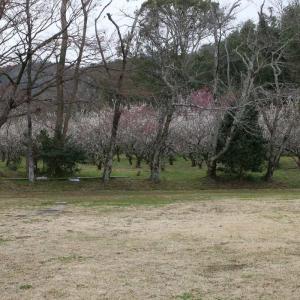 大沢池 嵯峨の梅林 令和2年(2020)如月