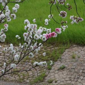 新川の桃とか桜とか鶯とか 令和2年(2020)弥生月末