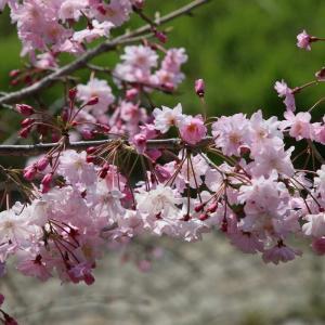 新川の桜と梅 令和2年(2020)卯月上旬
