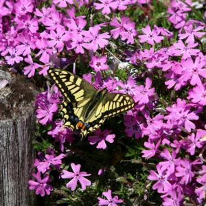 新川の蝶々 令和2年(2020)卯月16日