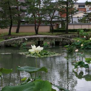 相国寺 放生池の蓮 令和2年(2020)
