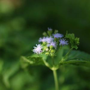 主役になれない花とかも 新川堤 令和3年(2021)文月下旬