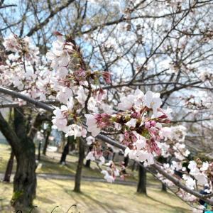 明石公園桜まつり&さくらの丘マルシェ