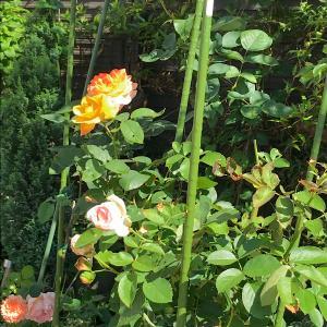 薔薇、咲きました