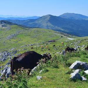 四国カルストの牛達