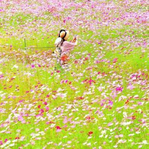 越知町のコスモス畑