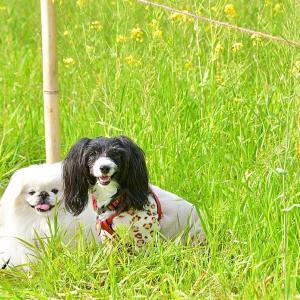 今日は菜の花お散歩