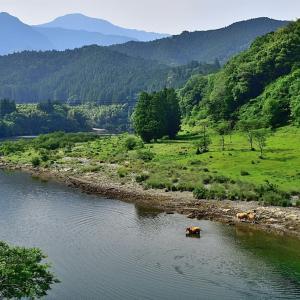 吉野川で水遊びする牛さん