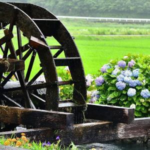 四万十 雨に濡れる紫陽花と水車