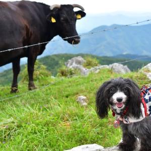 四国カルストで牛さんに会う