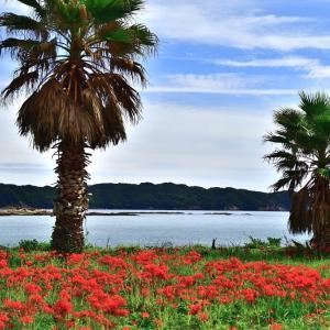 竜串・・・海の見える彼岸花群生地