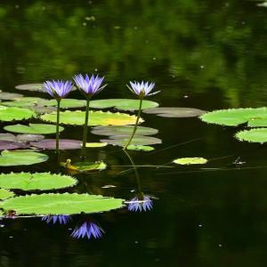 「モネの庭」の 青い睡蓮がきれいです