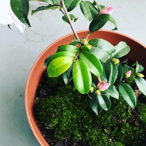 近所から苔(コケ)を採ってきてベランダに移植したら華やかに。茶室の露地を作るプロジェクト