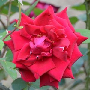 バラ 「ポインセチア」