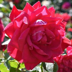 バラ 「ホールマーク」