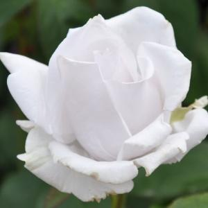 バラ 「マダム・高木」