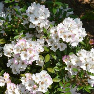 バラ 「花便り」
