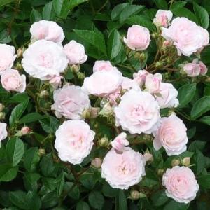 バラ 「ピンク・キャット」