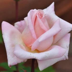 バラ 「プリンセス高松」