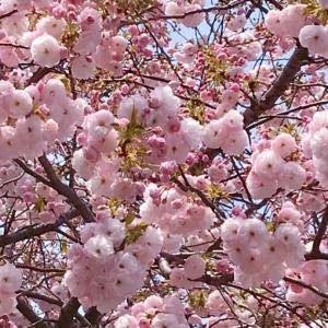 もりもりのピンクの桜が可愛い