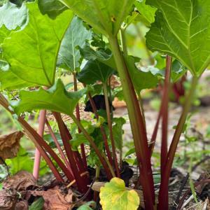 赤いルバーブ収穫 2021