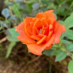 日本酒ゼリー 庭の秋バラからローゼルティー