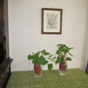 サツマイモ(鳴門金時)を植えようと思います。