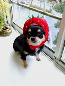 【犬の歯周病にイチゴが大活躍?】を解説しますっ