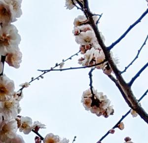 おニューのブラと美しい梅の花でスキップしたくなった。