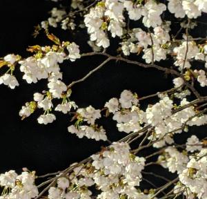 夜空に1本の桜の木。